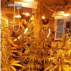 Carabinieri fra le piante di marijuana