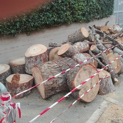 pini secolari