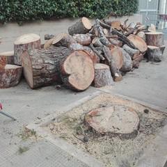Quello che resta di uno dei pini secolari di via Traiana