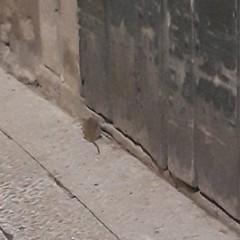 Uno dei topi di via Maggiore