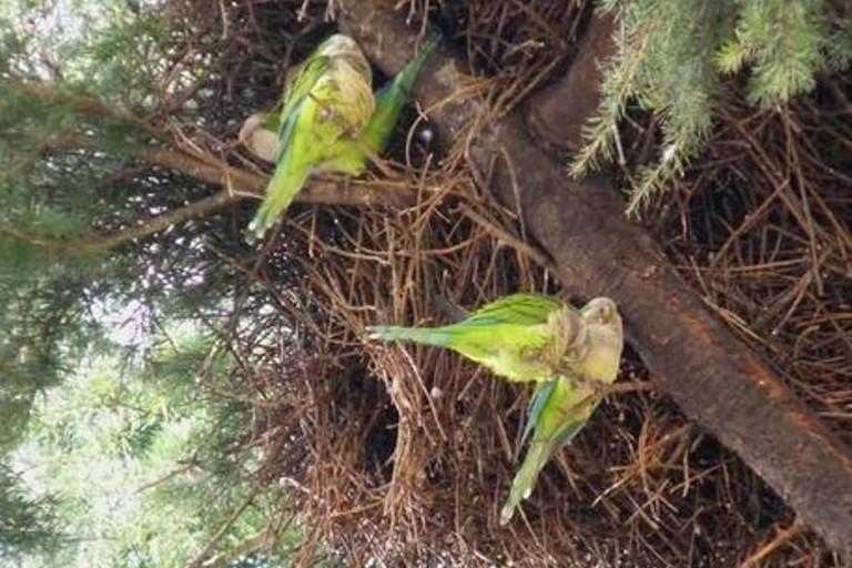 I pappagalli verdi