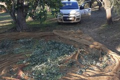 Sventato un furto di olive: «Ladri sempre più sfrontati, colpiscono in pieno giorno»
