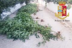 La marijuana cresce nelle case. Boom di piante in orti e balconi