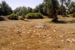 La mappa della criminalità: strage di ulivi monumentali a Bitonto