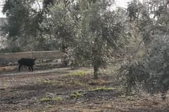 Cinghiali inseguiti dai cani tra Bitonto e Giovinazzo, intervengono le Guardie Campestri