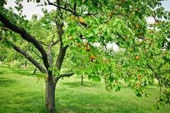 Taglia due ettari di albicocche: l'ira di un coltivatore di Bitonto