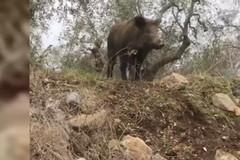 Invasione di cinghiali in provincia, Damascelli: «Regione ferma»