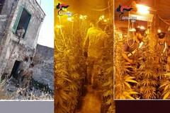 In cantina una serra di marijuana con la corrente abusiva