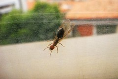 Invasione di formiche alate a Bitonto e in provincia: ecco perché