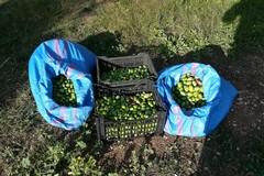 Furto di olive sventato nelle campagne di Bitonto