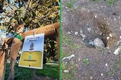 Piantati a Bitonto i primi alberi della memoria. Ma dalla Villa Comunale spariscono le cycas
