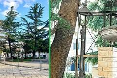 Il Comune al lavoro per salvare i cedri di Piazza Marconi