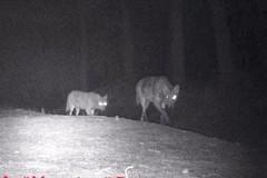 Due lupi avvistati a Bitonto sulla Murgia del Ceraso