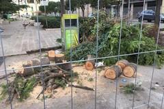 Tre alberi abbattuti a Bitonto durante i lavori in piazza Caduti