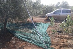 Ladro solitario ruba 4 quintali di olive. Fermato dal Consorzio Custodia Campi