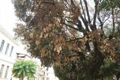 Verde pubblico a Bitonto: è allarme per i lecci delle frazioni