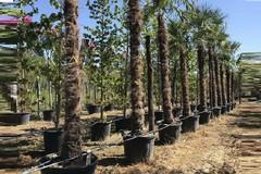 «Quasi 80 nuove palme piantate a Bitonto nei prossimi giorni»