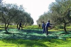 «I beneficiari del reddito di cittadinanza impiegati nella lotta alla xylella»