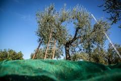 Assoproli: tecnologie e innovazione, l'olivicoltura si apre al futuro