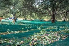 I costruttori dell'olivicoltura, la più importante industria green di Puglia guarda al futuro