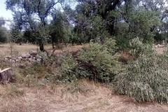 Criminalità: segati 10 ulivi secolari a Bitonto per rivendere legna