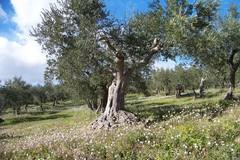 """Domenica a Bitonto e Ruvo la """"Camminata tra gli olivi"""""""