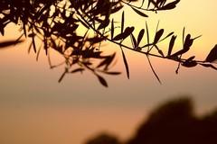 Crisi olivicola, perdite fino al 95%. Damascelli (FI) chiede audizione in Regione
