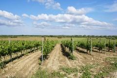 Banda di ladri d'uva a Bitonto: rubati nella notte 80 quintali di uva da vino