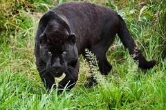 Avvistata la pantera nera nelle campagne tra Bitonto e Giovinazzo
