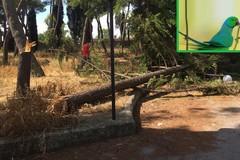 Maria Cristina: alberi secolari abbattuti per rubare pappagallini
