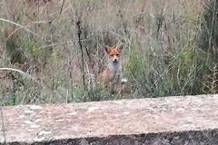 Meraviglia al bosco di Bitonto: la volpe gioca davanti all'obiettivo di una passante