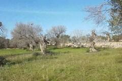 Allarme Xylella, Sicolo: «Il 75% dei campi non curato: rischi altissimi»