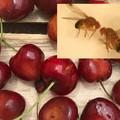 Ciliegie attaccate dal moscerino Suzukii: Coldiretti avverte