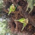 Invasione di pappagalli verdi a Bitonto e dintorni: mandorle devastate