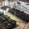 Trovata a Bitonto una piantagione di marijuana a ridosso della Lama Balice