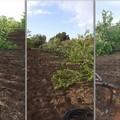 Atto di intimidazione ad imprenditore agricolo a Bitonto. Tagliati 30 alberi di mandorlo