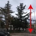 «Sugli alberi di Bitonto capitozzatura errata»