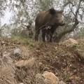 VIDEO - Cinghiali in via Burrone. Preoccupazione fra i residenti