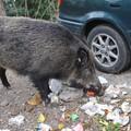 Invasione di cinghiali e lupi, l'allarme di Coldiretti