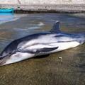 Delfino morto sulla spiaggia di S.Spirito: a ucciderlo, forse, un ammasso di plastica