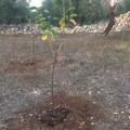 Pianta 10 alberelli e glieli rubano: «Qui cresce solo delinquenza»