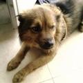 La pioggia erode le speranze di ritrovare Chicco, il cane rubato all'agricoltore in campagna