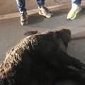 Cinghiale attraversa la provinciale Terlizzi-Mariotto e causa grave incidente