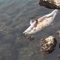 Un delfino morto nel porto di Santo Spirito