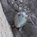 Una lenza uccide un'altra tartaruga marina a S.Spirito