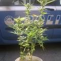 In casa una pianta di marijuana, denunciato dalla Polizia