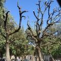 Potatura alberi a Mariotto: insorgono VogliAMO Bitonto Pulita e l'associazione Mowgli