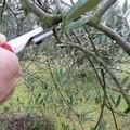 A Bitonto un corso teorico-pratico di potatura e innesto dell'olivo