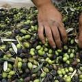 Furti di olive, Coldiretti: «In 3 minuti si rubano 30 chili di prodotto»