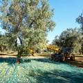 Furti di olive, la Cia: «Inasprire le sanzioni per chi ritira la merce rubata»
